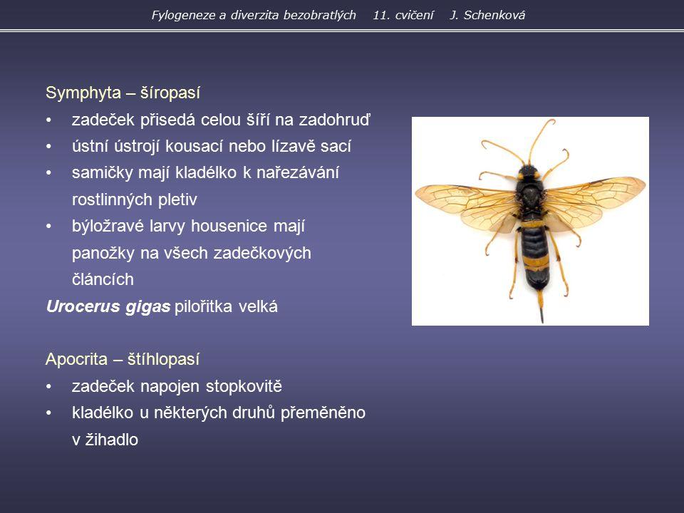 Fylogeneze a diverzita bezobratlých 11. cvičení J. Schenková