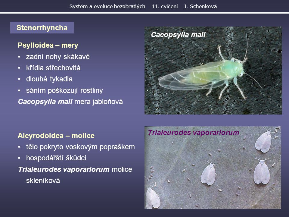 Systém a evoluce bezobratlých 11. cvičení J. Schenková