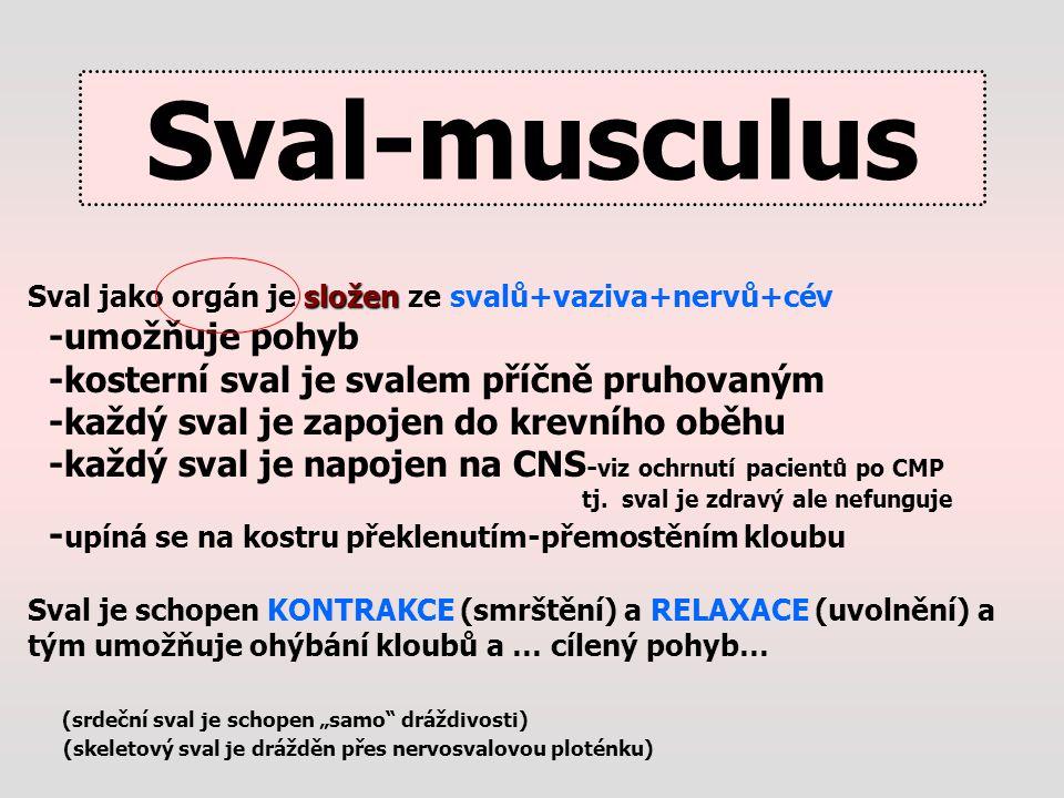 Sval-musculus -umožňuje pohyb