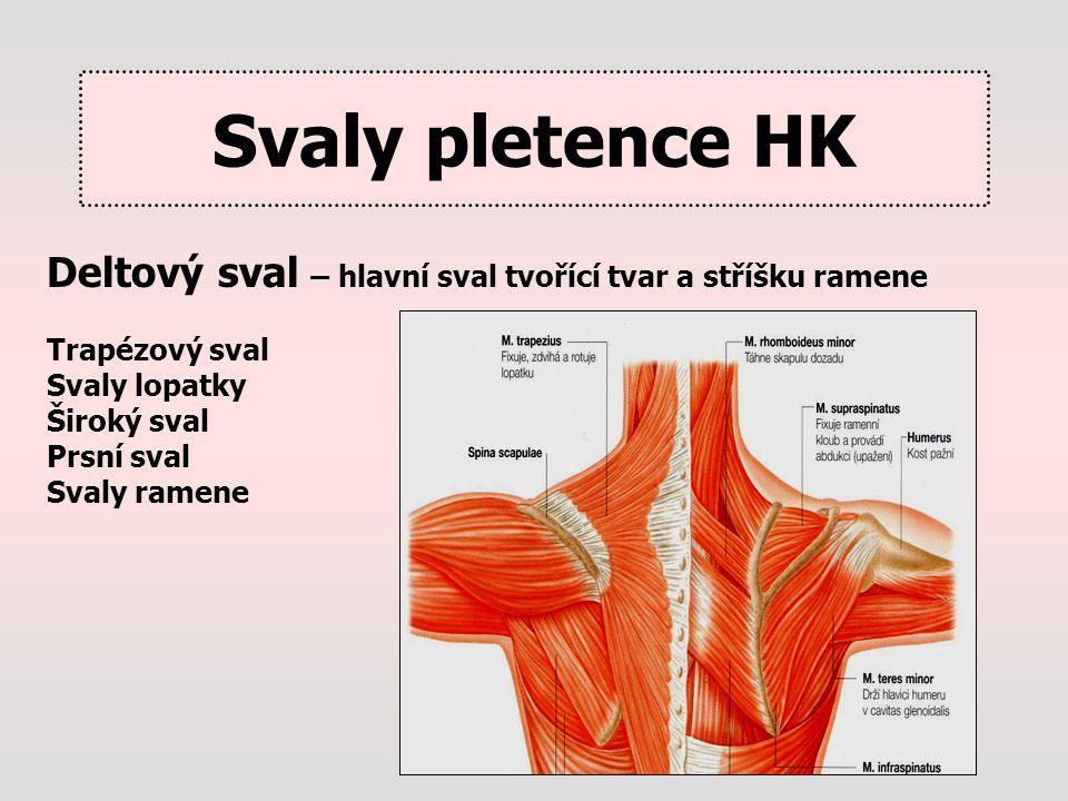 Svaly pletence HK Deltový sval – hlavní sval tvořící tvar a stříšku ramene. Trapézový sval. Svaly lopatky.