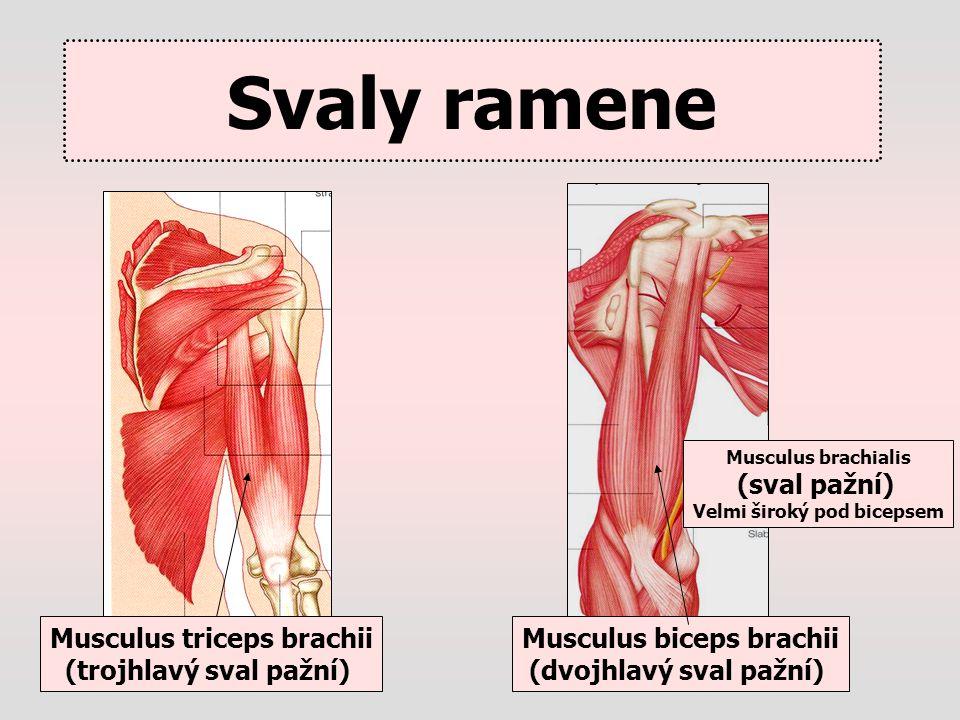 Svaly ramene (sval pažní) Musculus triceps brachii
