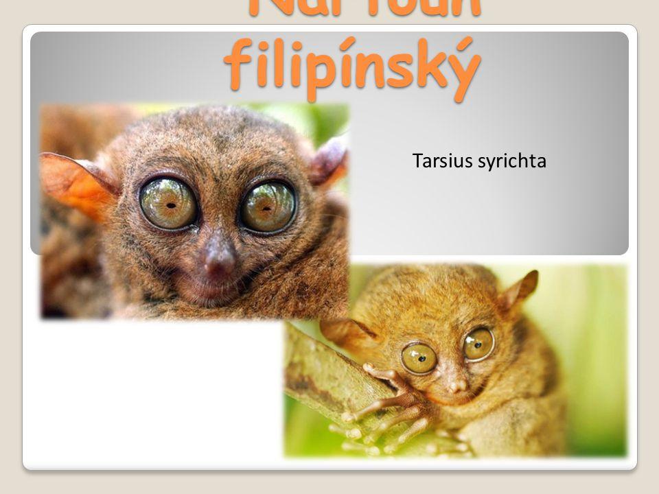 Nártoun filipínský Tarsius syrichta