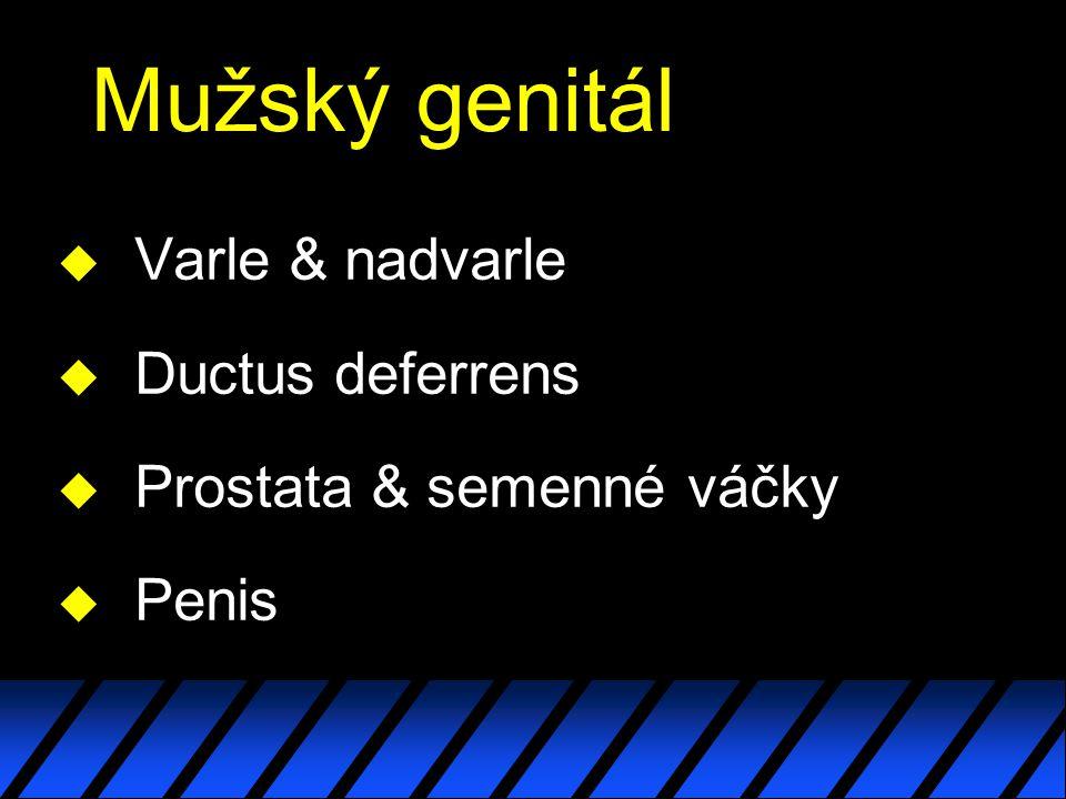 Mužský genitál Varle & nadvarle Ductus deferrens