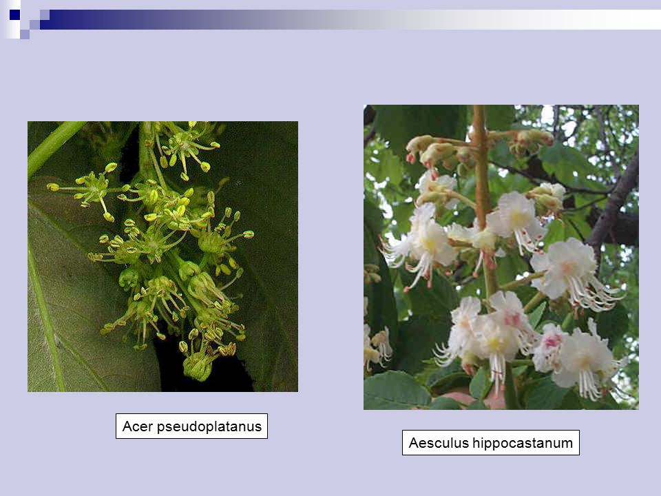 Acer pseudoplatanus Aesculus hippocastanum