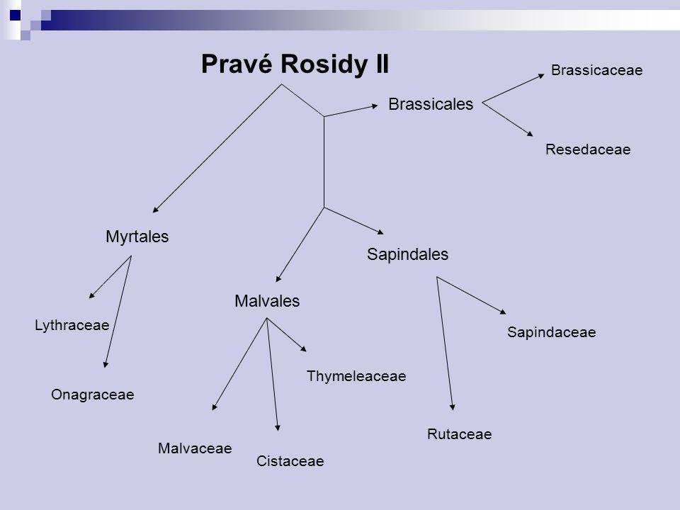 Pravé Rosidy II Brassicales Myrtales Sapindales Malvales Brassicaceae