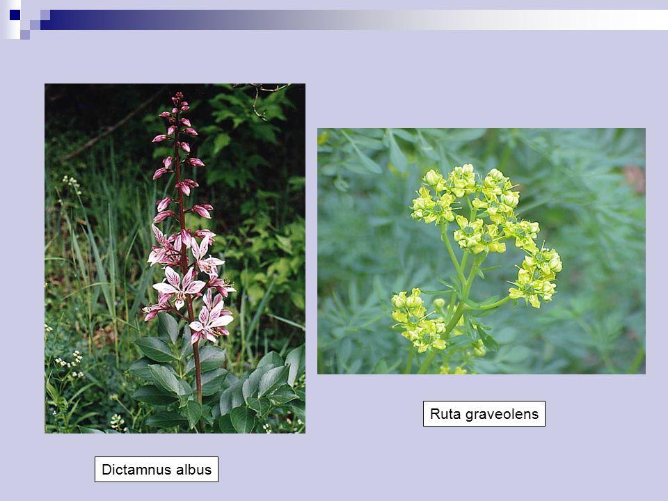 Ruta graveolens Dictamnus albus