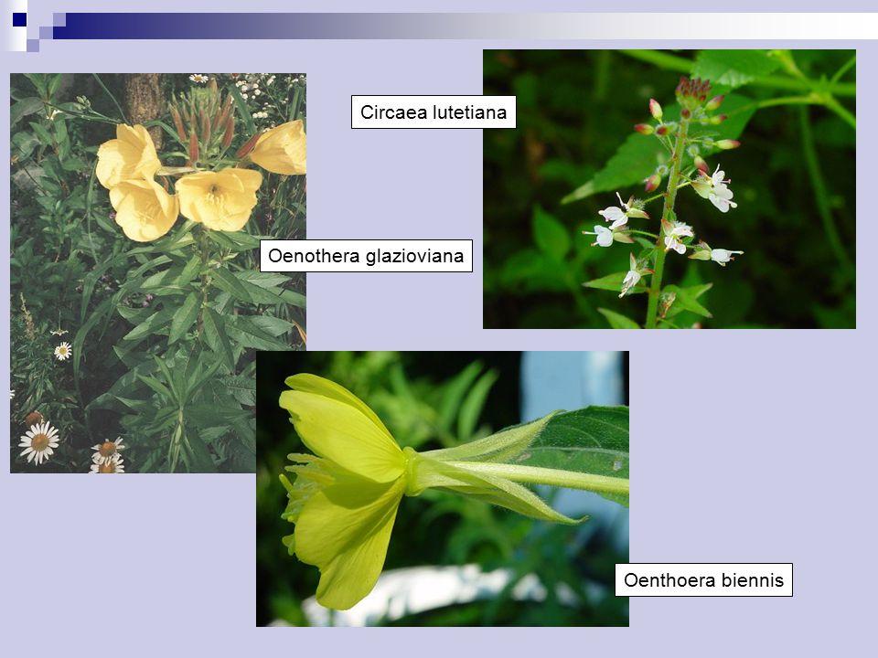 Circaea lutetiana Oenothera glazioviana Oenthoera biennis