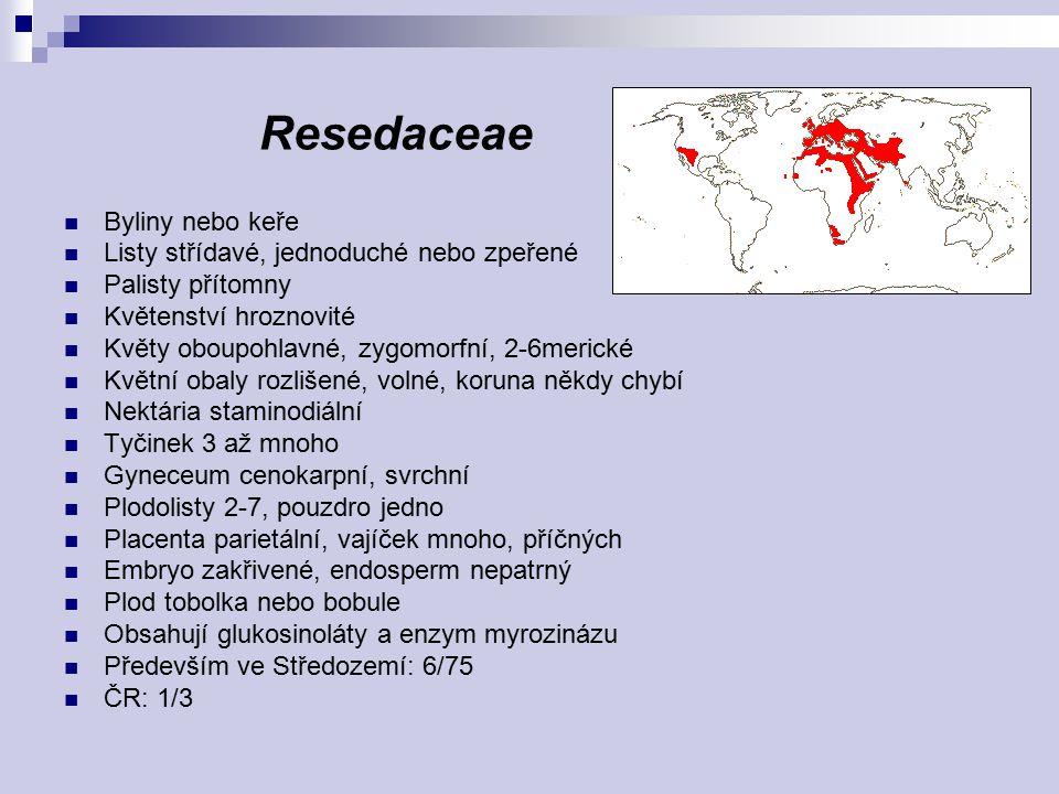 Resedaceae Byliny nebo keře Listy střídavé, jednoduché nebo zpeřené
