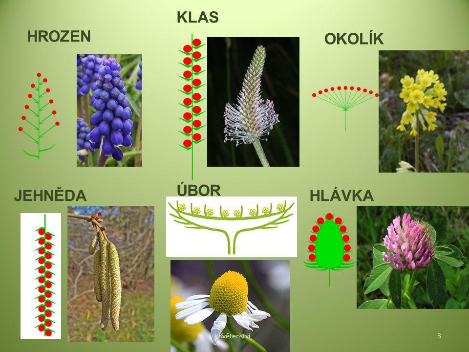 KLAS HROZEN OKOLÍK ÚBOR JEHNĚDA HLÁVKA Květenství