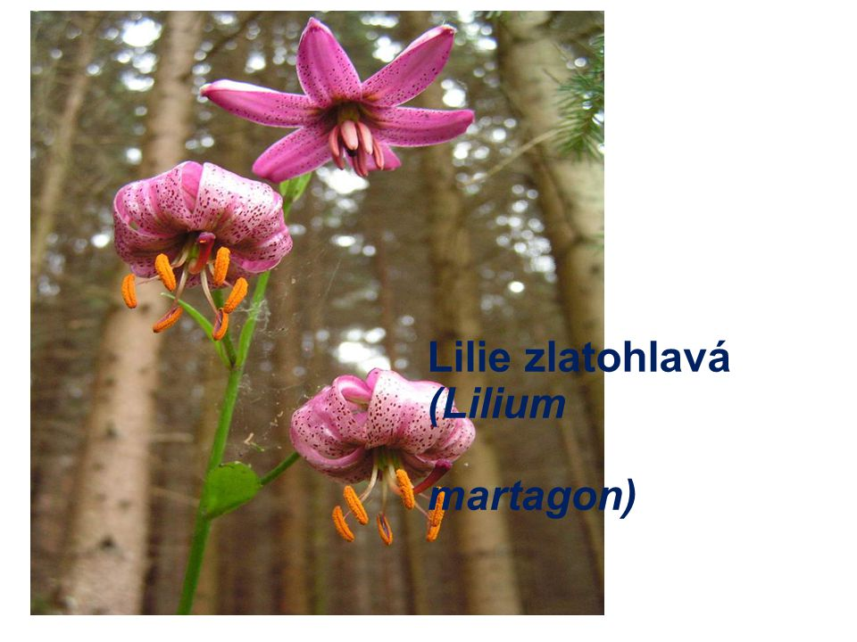 Lilie zlatohlavá (Lilium martagon)