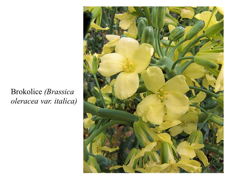 Brokolice (Brassica oleracea var. italica)