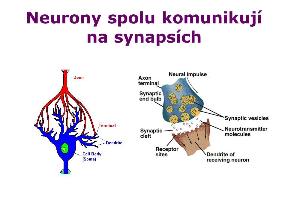 Neurony spolu komunikují na synapsích