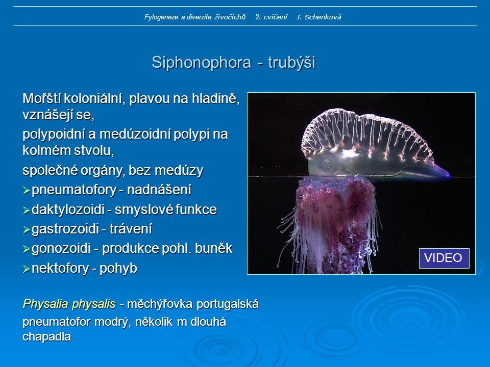 Siphonophora - trubýši