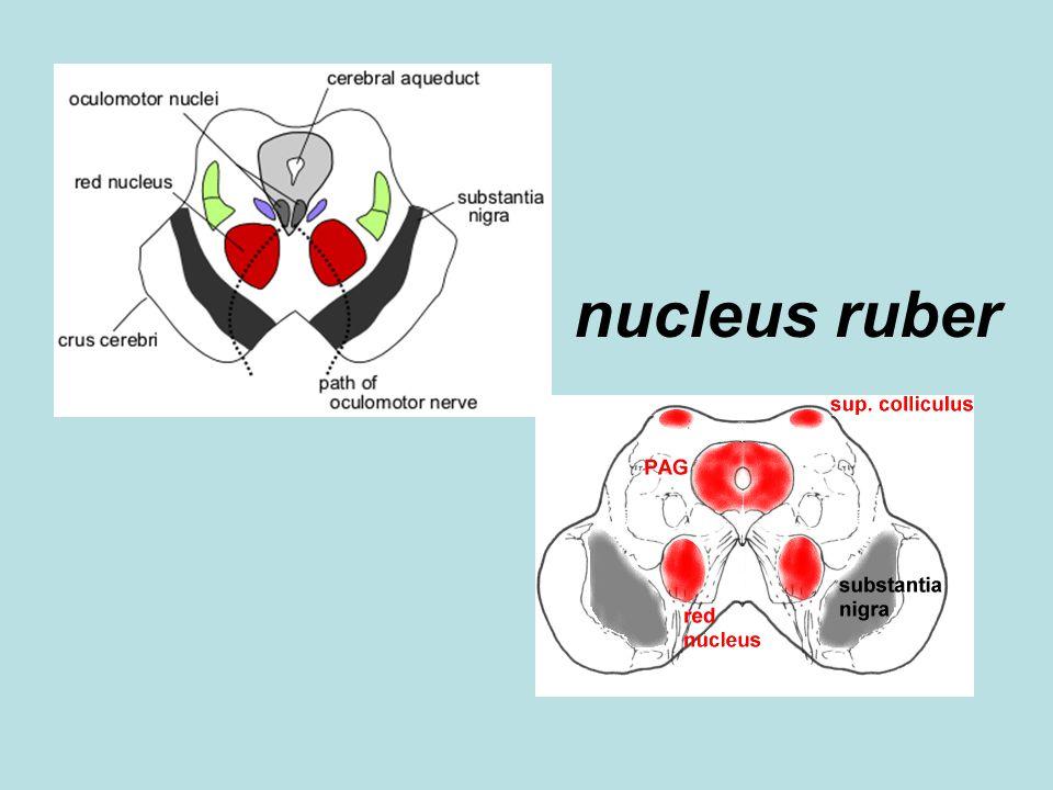 nucleus ruber