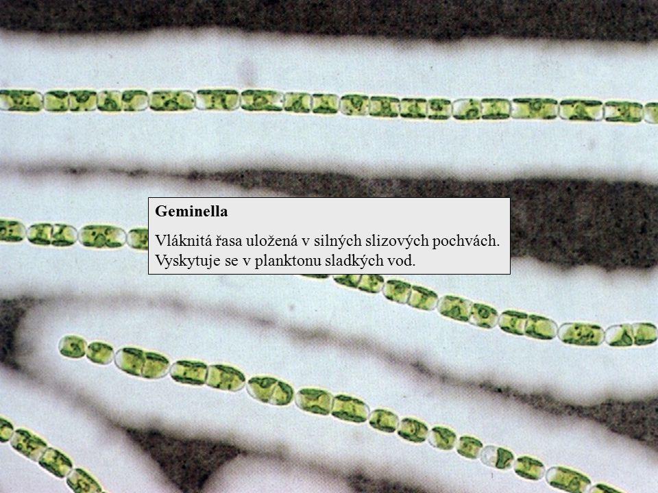 Geminella Vláknitá řasa uložená v silných slizových pochvách.