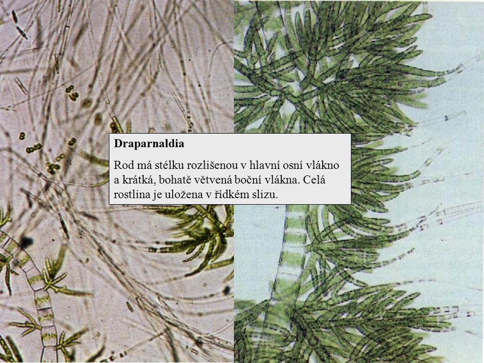 Draparnaldia Rod má stélku rozlišenou v hlavní osní vlákno a krátká, bohatě větvená boční vlákna.