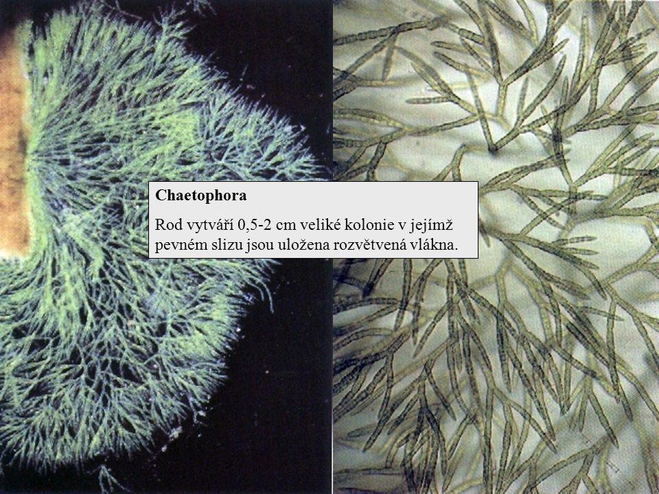 Chaetophora Rod vytváří 0,5-2 cm veliké kolonie v jejímž pevném slizu jsou uložena rozvětvená vlákna.