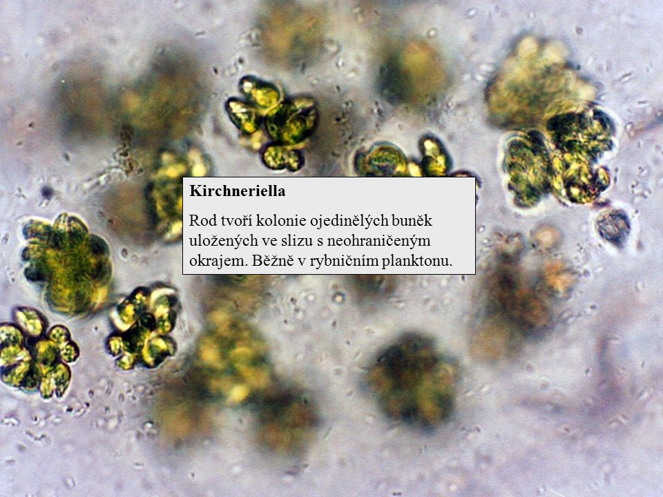 Kirchneriella Rod tvoří kolonie ojedinělých buněk uložených ve slizu s neohraničeným okrajem.