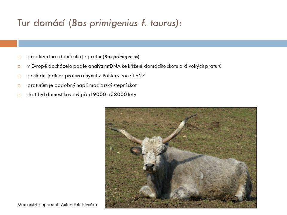 Tur domácí (Bos primigenius f. taurus):