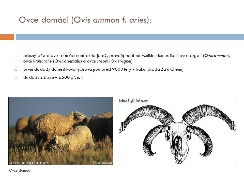 Ovce domácí (Ovis ammon f. aries):