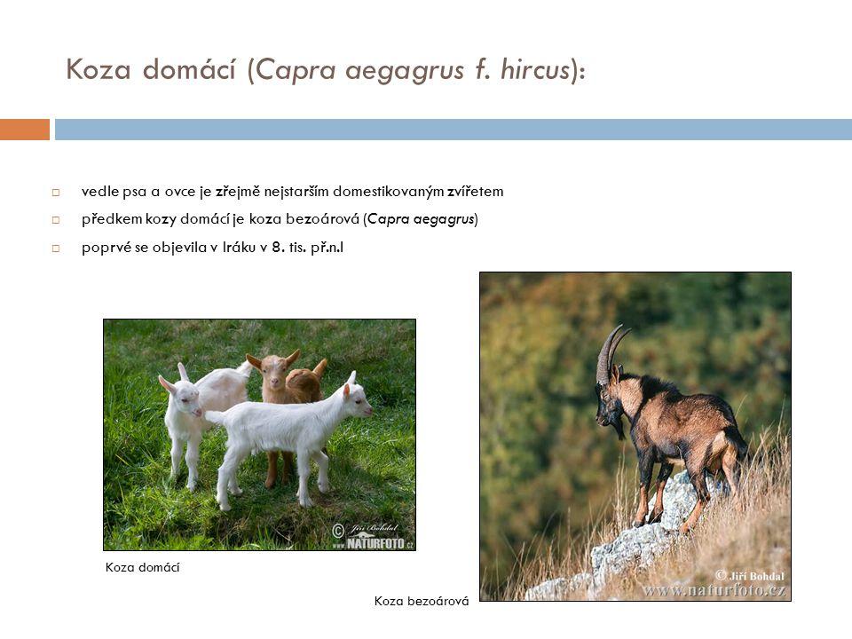Koza domácí (Capra aegagrus f. hircus):