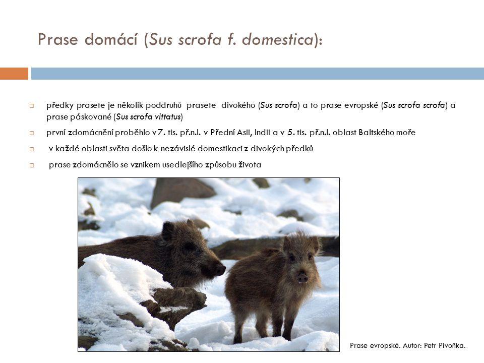 Prase domácí (Sus scrofa f. domestica):