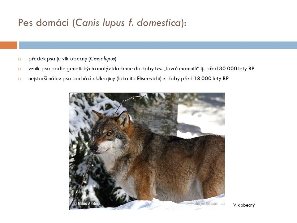 Pes domácí (Canis lupus f. domestica):