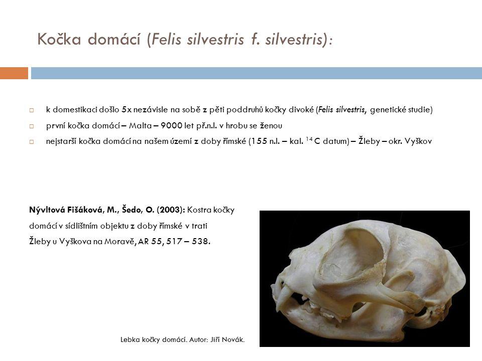 Kočka domácí (Felis silvestris f. silvestris):