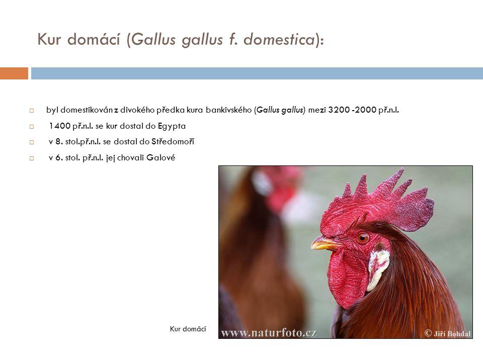 Kur domácí (Gallus gallus f. domestica):