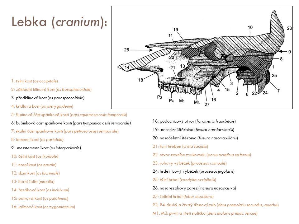 Lebka (cranium):