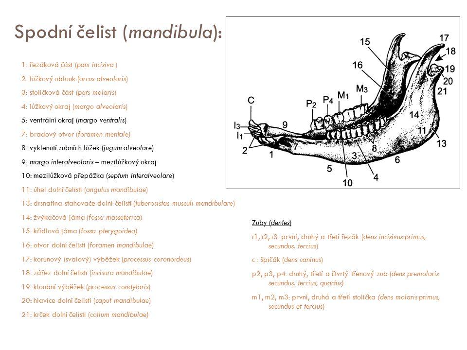 Spodní čelist (mandibula):