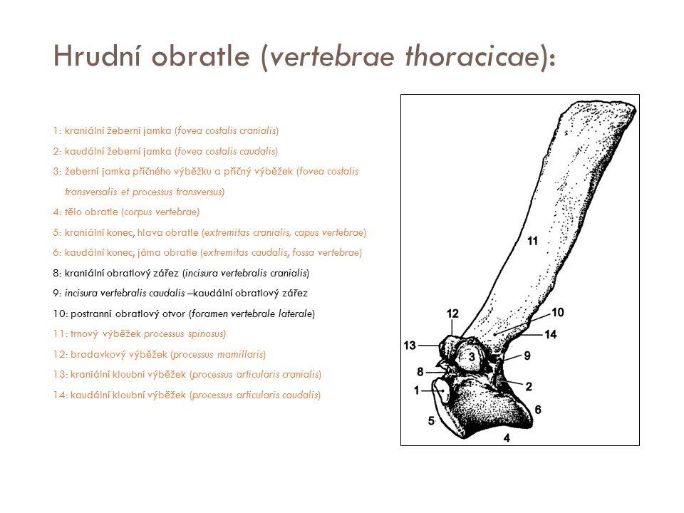 Hrudní obratle (vertebrae thoracicae):