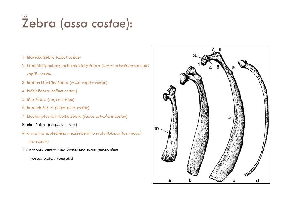 Žebra (ossa costae):