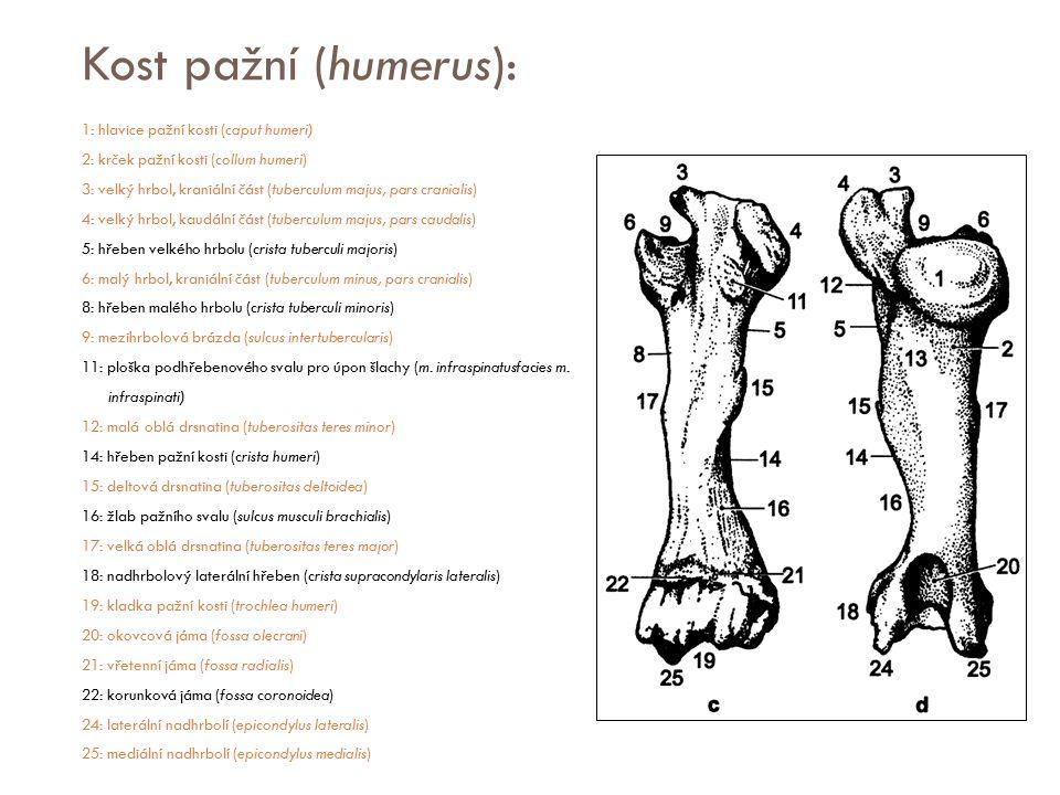 Kost pažní (humerus):