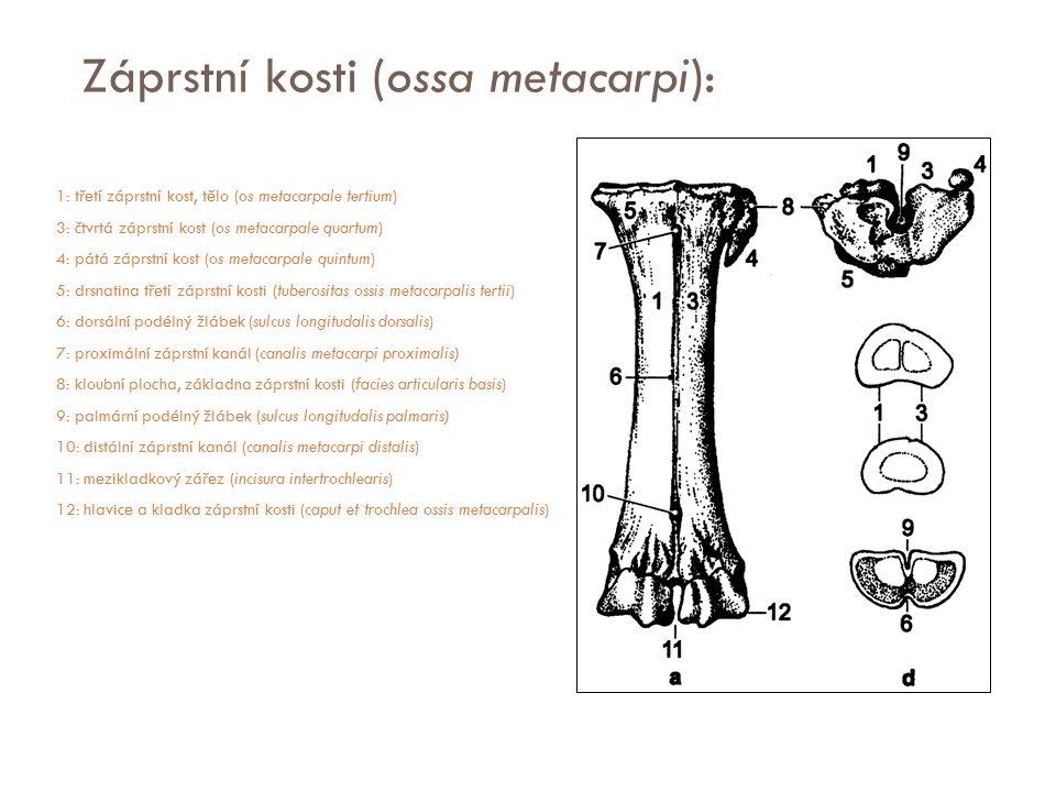 Záprstní kosti (ossa metacarpi):