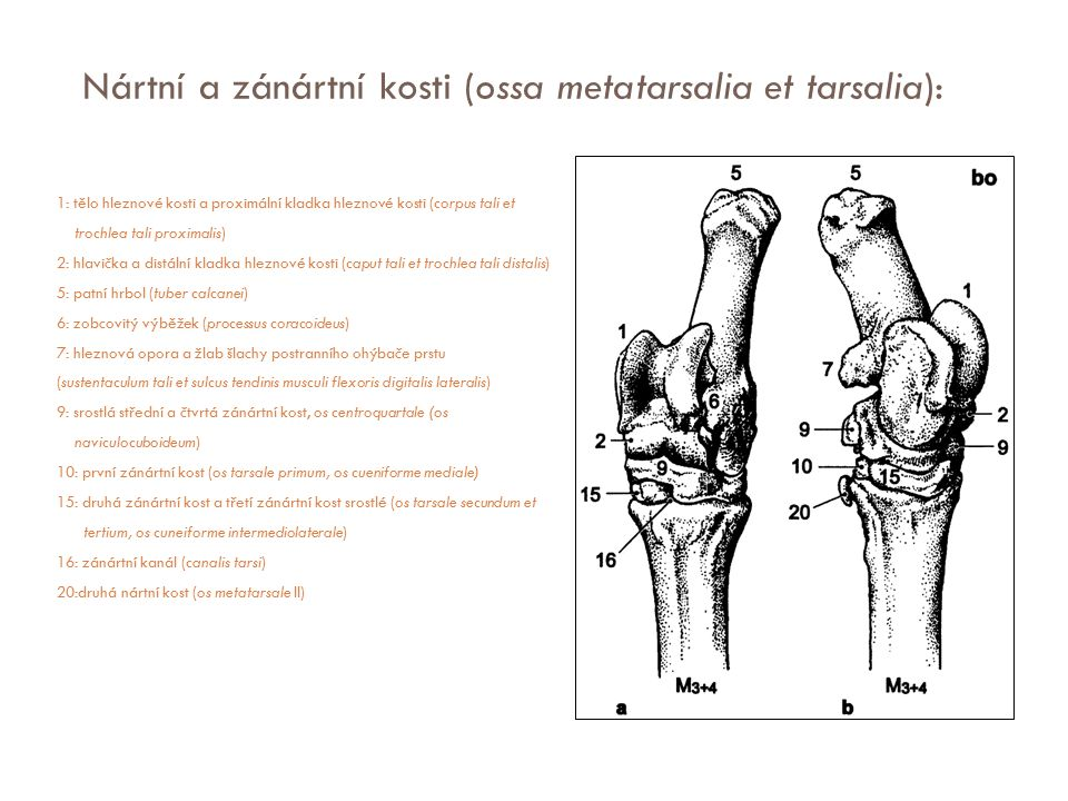 Nártní a zánártní kosti (ossa metatarsalia et tarsalia):