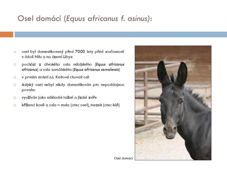 Osel domácí (Equus africanus f. asinus):