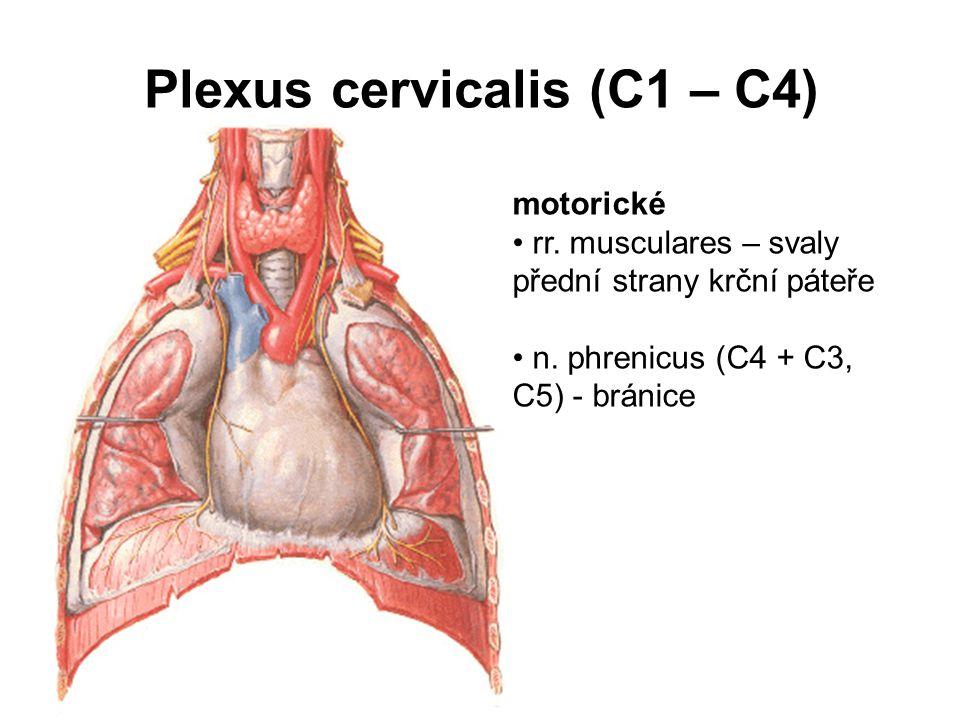 Plexus cervicalis (C1 – C4)