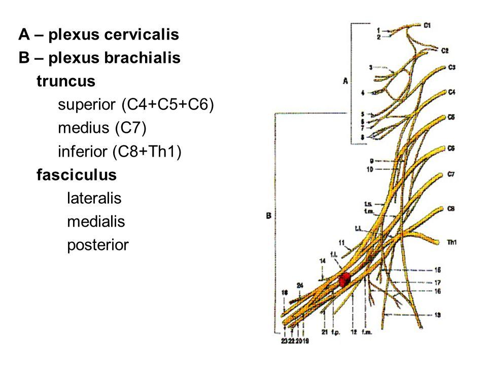 A – plexus cervicalis B – plexus brachialis. truncus. superior (C4+C5+C6) medius (C7) inferior (C8+Th1)