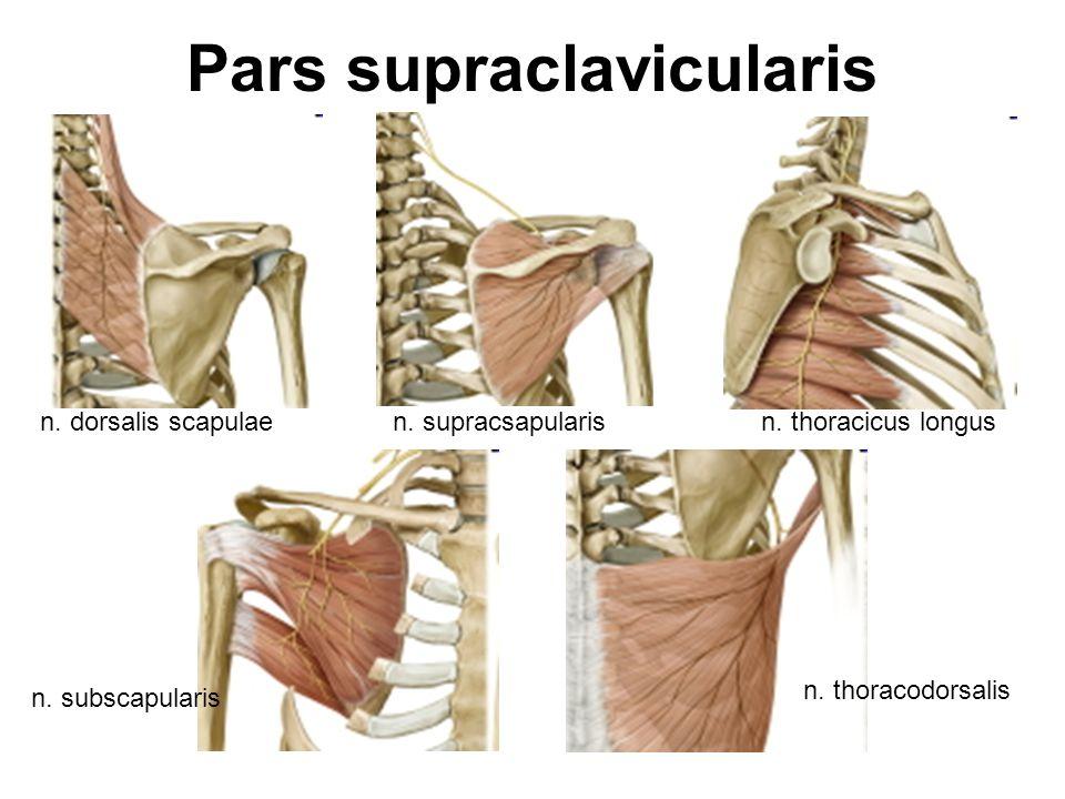 Pars supraclavicularis