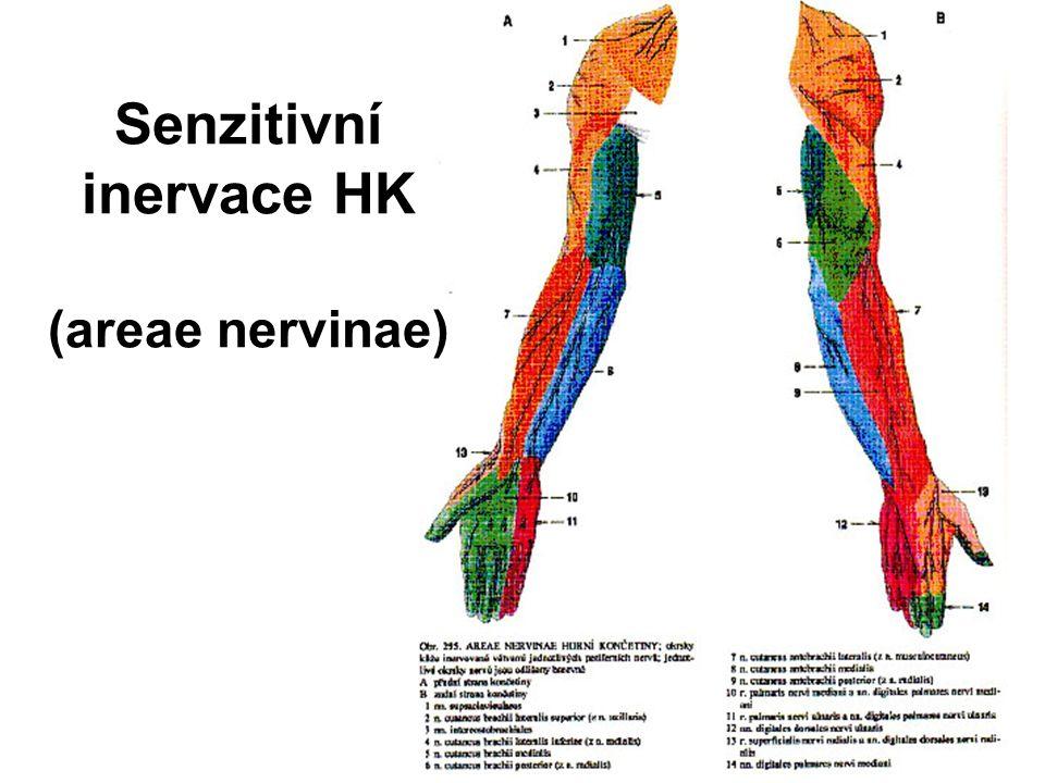 Senzitivní inervace HK (areae nervinae)
