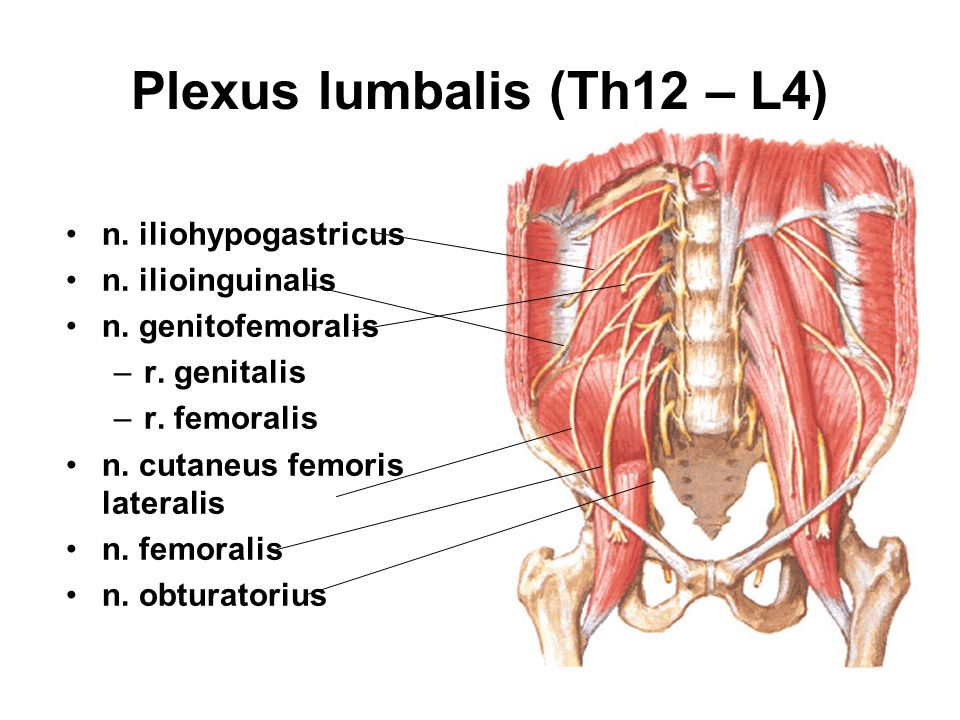 Plexus lumbalis (Th12 – L4)