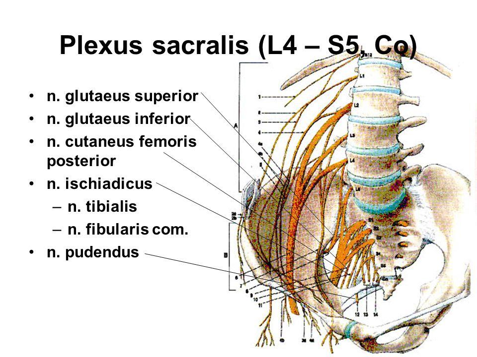 Plexus sacralis (L4 – S5, Co)