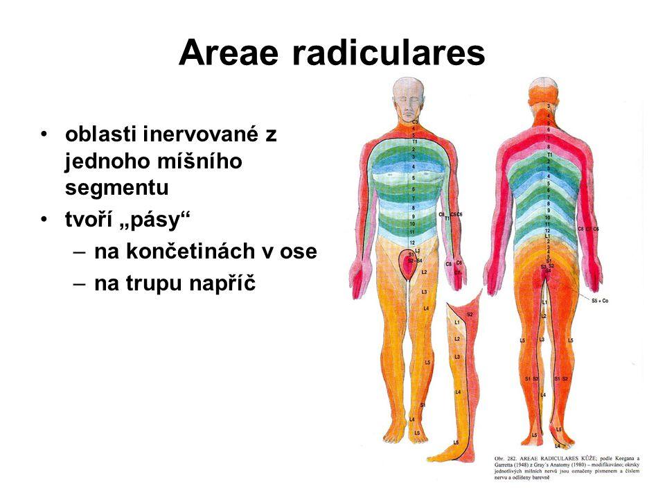 Areae radiculares oblasti inervované z jednoho míšního segmentu