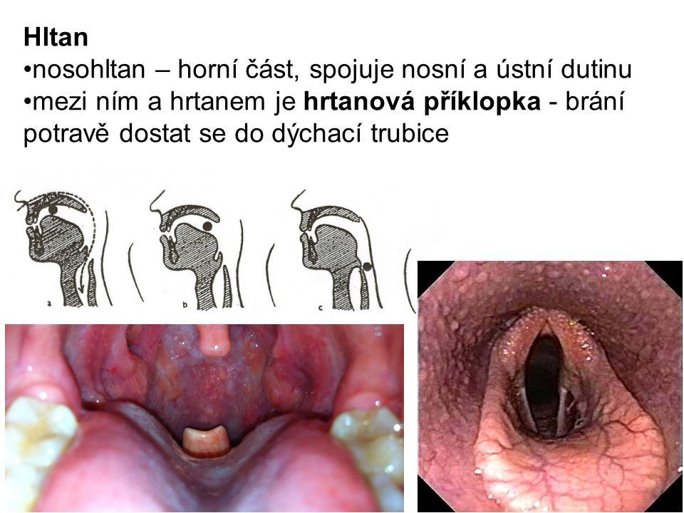 Hltan nosohltan – horní část, spojuje nosní a ústní dutinu.