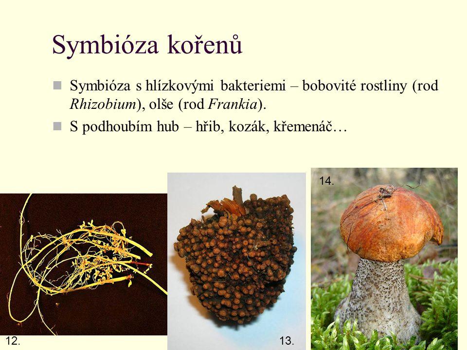 Symbióza kořenů Symbióza s hlízkovými bakteriemi – bobovité rostliny (rod Rhizobium), olše (rod Frankia).