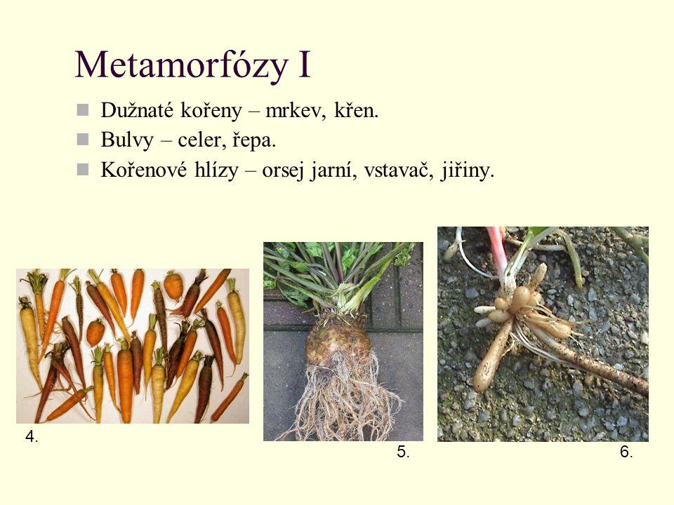 Metamorfózy I Dužnaté kořeny – mrkev, křen. Bulvy – celer, řepa.