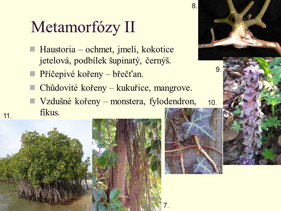 8. Metamorfózy II. Haustoria – ochmet, jmelí, kokotice jetelová, podbílek šupinatý, černýš. Příčepivé kořeny – břečťan.