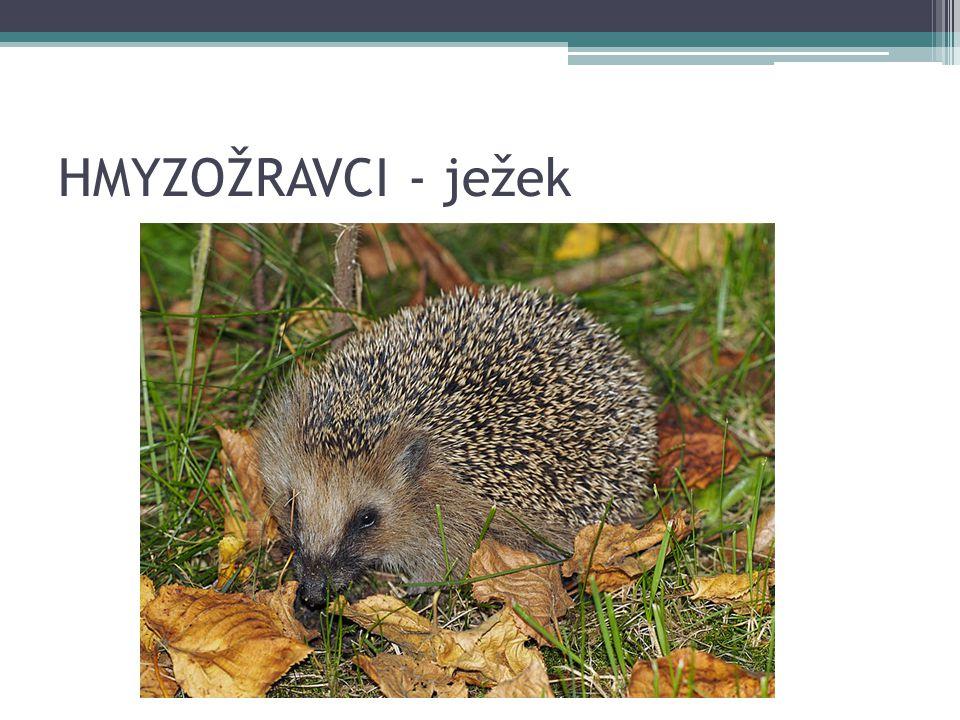 HMYZOŽRAVCI - ježek