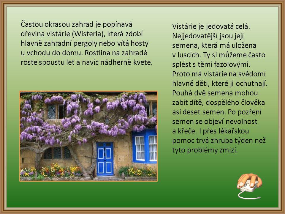 Častou okrasou zahrad je popínavá dřevina vistárie (Wisteria), která zdobí hlavně zahradní pergoly nebo vítá hosty